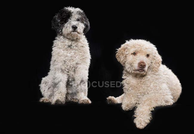 Studio sparato cani su sfondo nero — Foto stock