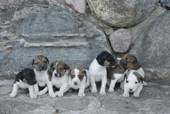 Lindos cachorros Jack Russell Terrier en una fila - foto de stock