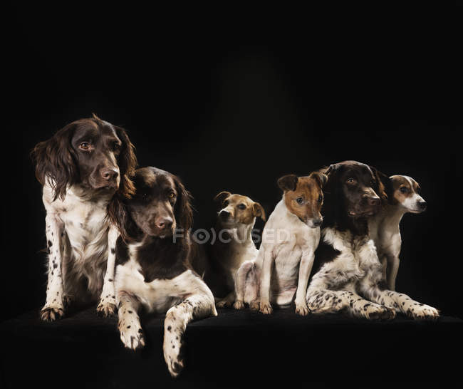 Studio coup Springer Spaniel et Jack Russell Terrier chiens — Photo de stock