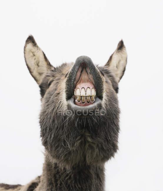 Dents montrant âne ludique — Photo de stock