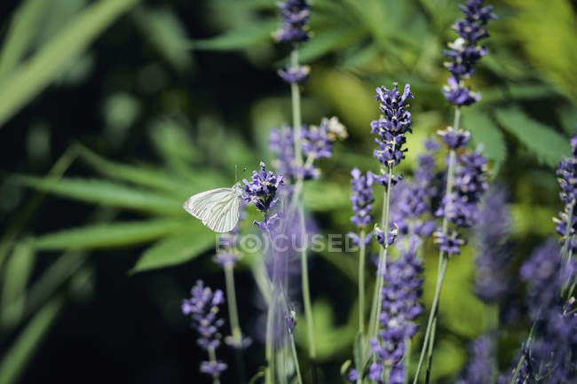 A butterfly on lavender during daytime — Stock Photo