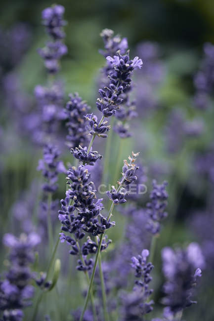 Fresh lavender growing in garden — Stock Photo