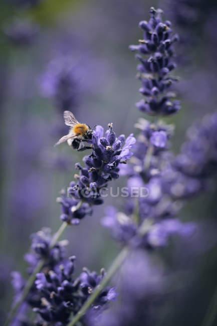 Бджоли запилення лаванди — стокове фото