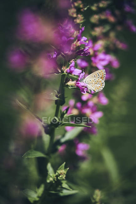 A butterfly on a purple flowering plant — Stock Photo