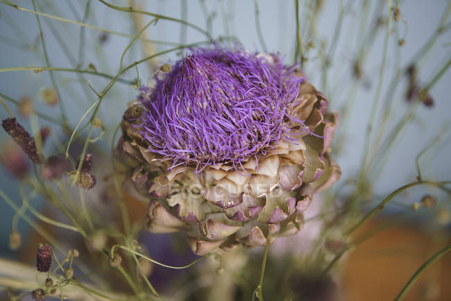 Close up purple artichoke flower — Stock Photo
