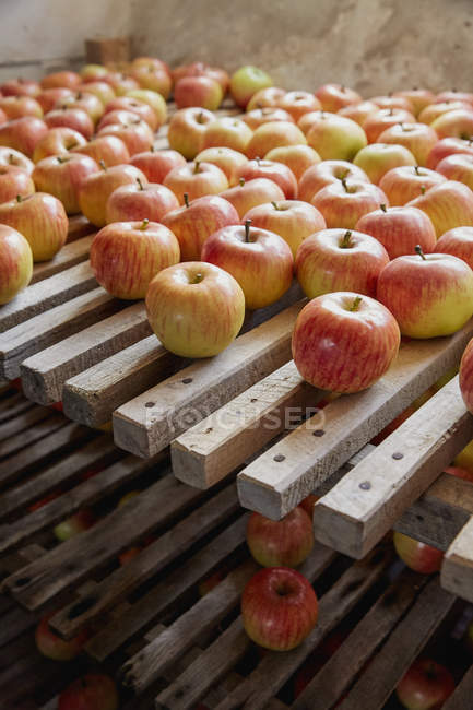 Fresh, ripe harvested apples drying on racks — Stock Photo