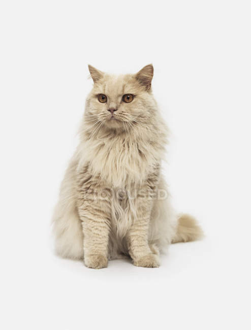 Chat de portrait sur fond blanc — Photo de stock