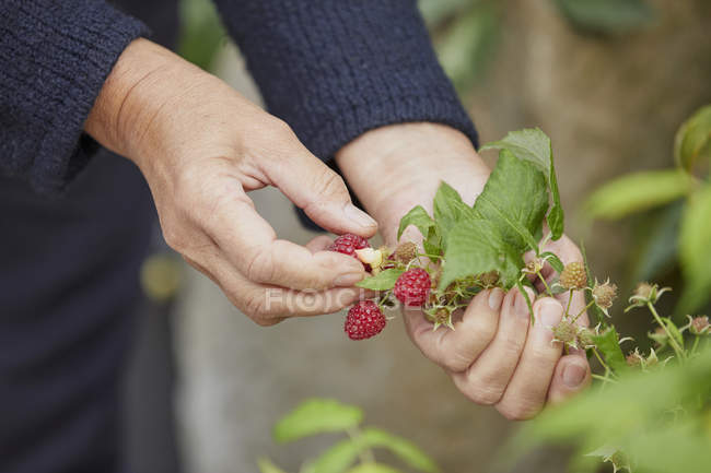 Mulher colhendo framboesas frescas — Fotografia de Stock