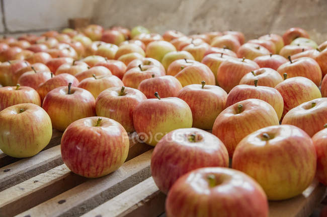 Fresh, ripe harvested apples drying on rack — Stock Photo