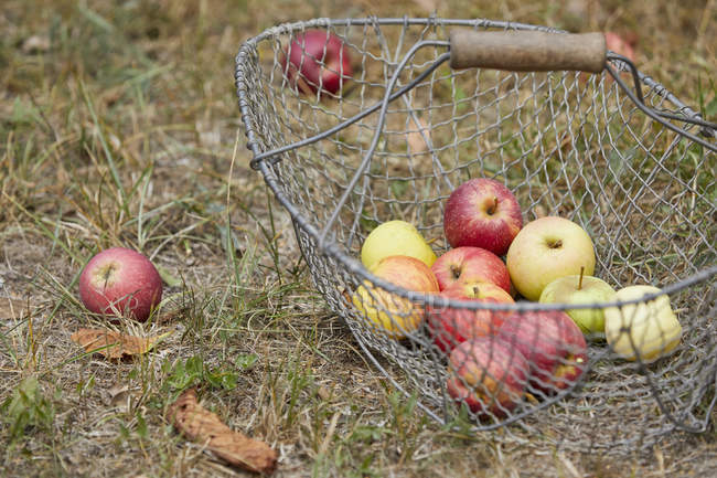Fresh harvested apples in basket — Stock Photo