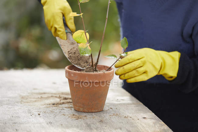 Woman with rubber gloves gardening, potting plant — Stock Photo