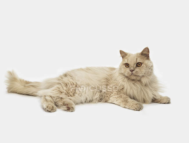 Cat laying on white background — Stock Photo