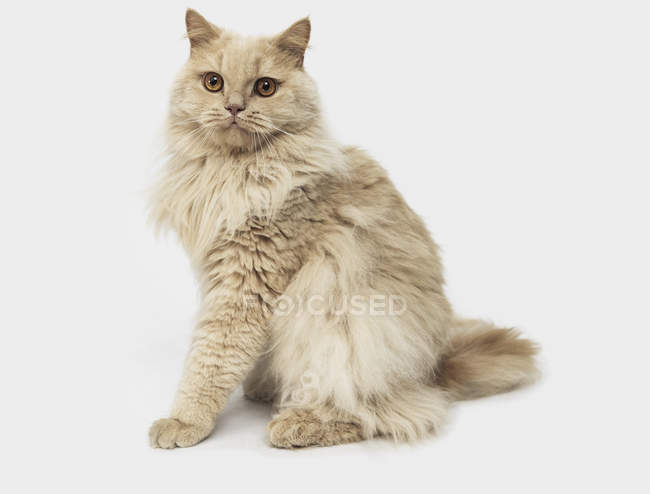 Portrait cat on white background — Stock Photo