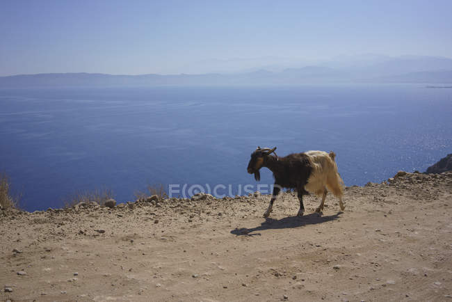 Goat walking along cliff overlooking sunny blue ocean, Crete, Greece — Stock Photo