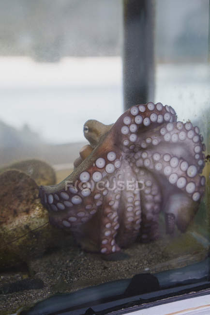 Octopus tentacles pressed up against aquarium glass — Stock Photo