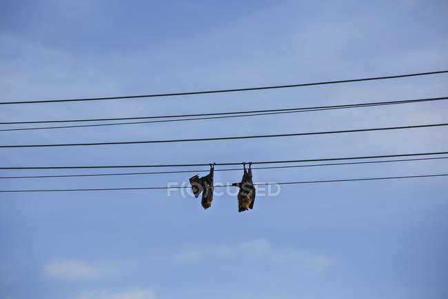 Morcegos dormindo, pendurados de cabeça para baixo na linha telefônica contra o céu azul — Fotografia de Stock