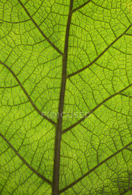 Extreme close up veins of vibrant green leaf — Stock Photo