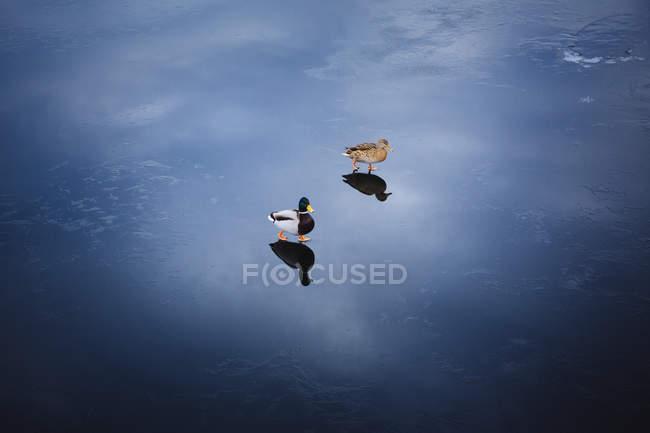 Mallard ducks walking on wet surface — Stock Photo