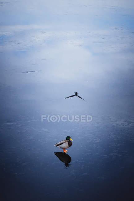 Canard colvert sur un sol humide — Photo de stock