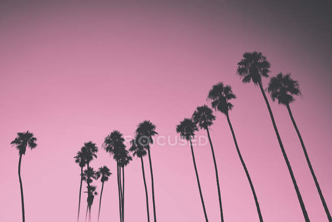 Silhouetted palm trees against pink sky, Santa Barbara, California, USA — Stock Photo
