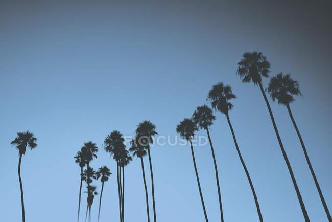 Силуетними пальми проти синього неба, Санта-Барбара, Каліфорнія, США — стокове фото