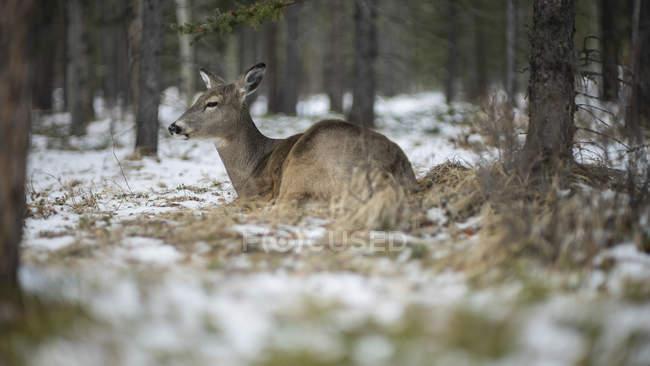 Deer laying in snowy woods, Lake Louise, Alberta, Canada — Fotografia de Stock