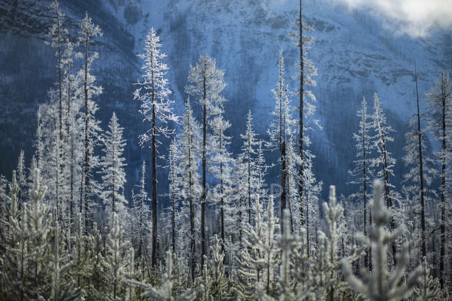 Snow covered forest trees below mountain, Marble Canyon, Alberta, Canada — Stock Photo