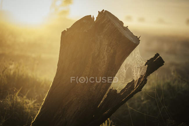 Spiderweb on tree stump in ethereal sunrise field — Stock Photo