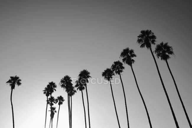 Силуэт пальмы против солнечного неба, Санта-Барбара, Калифорния, США — стоковое фото