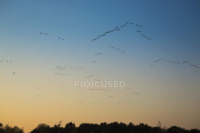 Aves volando en el cielo al atardecer - foto de stock