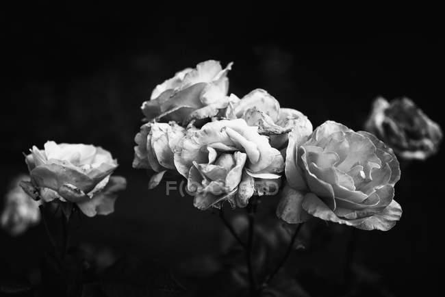 Rose in bianco e nero in decomposizione — Foto stock