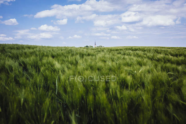 Idyllic, rural green wheat crop and landscape, Brandenburg, Germany — Stock Photo