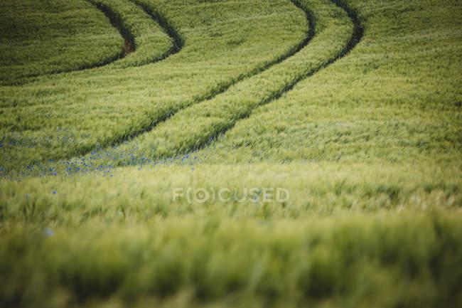 Campo de trigo verde idílico, rural com wildflowers roxos, Brandenburg, Alemanha — Fotografia de Stock