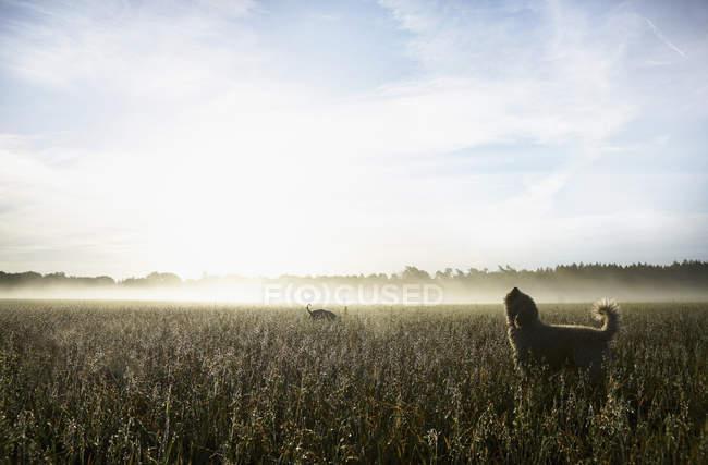 Spanische Wasserhunde heulen in der Morgendämmerung auf dem sonnigen Feld — Stockfoto
