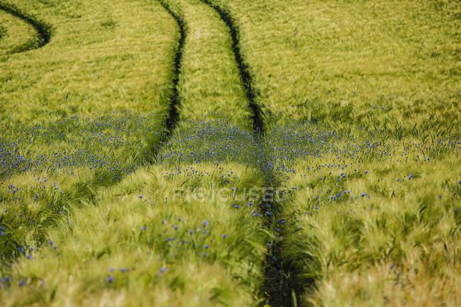 Flores silvestres crescendo em campo de trigo verde idílico — Fotografia de Stock