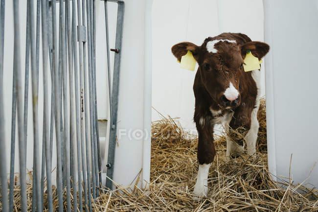 Портрет відзначив корова теля — стокове фото