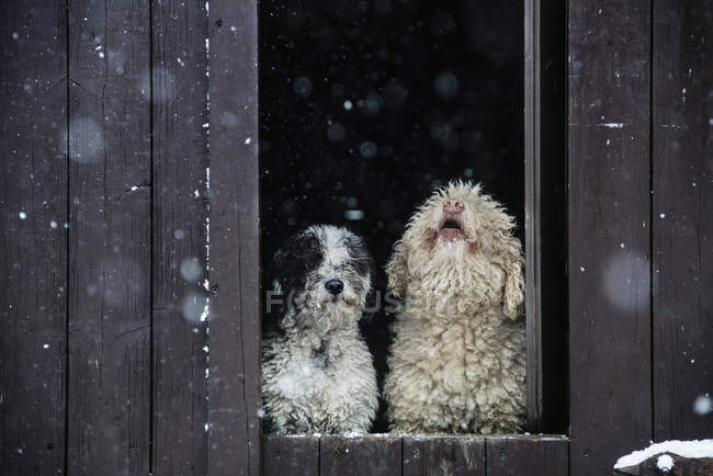Spanish Water Dogs guardando la neve dalla porta del fienile — Foto stock