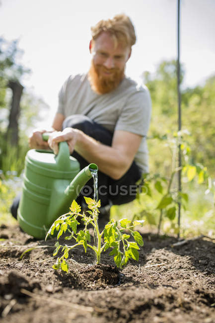 Man with beard watering sapling plant in sunny vegetable garden — Stock Photo