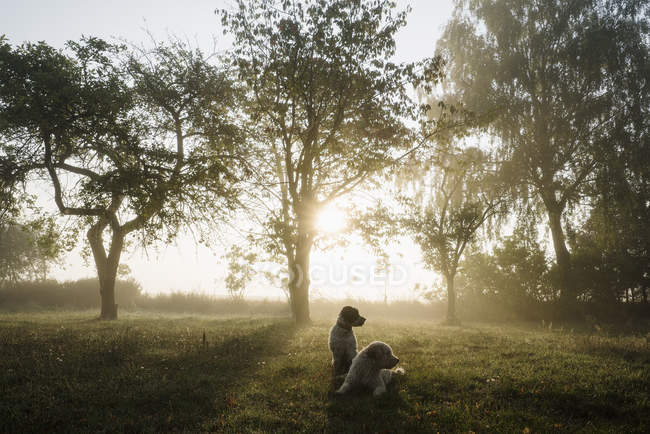 Spanish Water Dogs in idyllic rural field at sunrise — стоковое фото