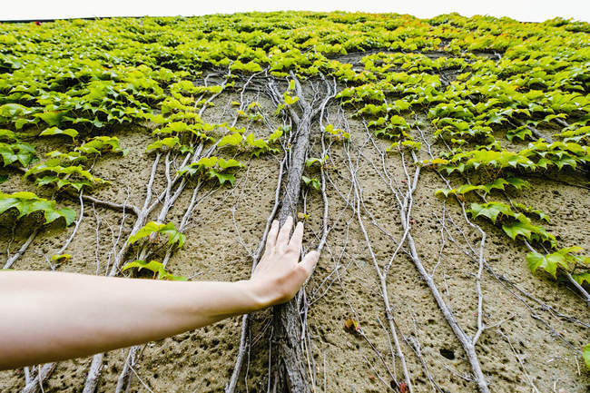 Personal perspective woman touching ivy roots growing up wall — Stock Photo