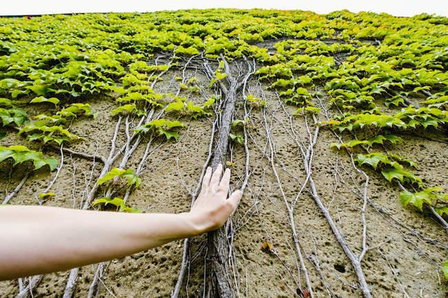 Особиста перспектива жінки зворушливі Плющ коріння ростуть стіни — стокове фото