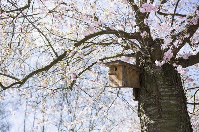 Шпахата в ідилічному весняному вишні цвітіння дерева — стокове фото