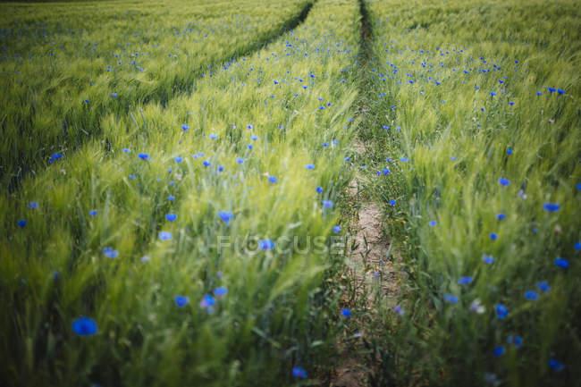Wildflowers azuis que crescem no campo de trigo verde idílico, rural — Fotografia de Stock