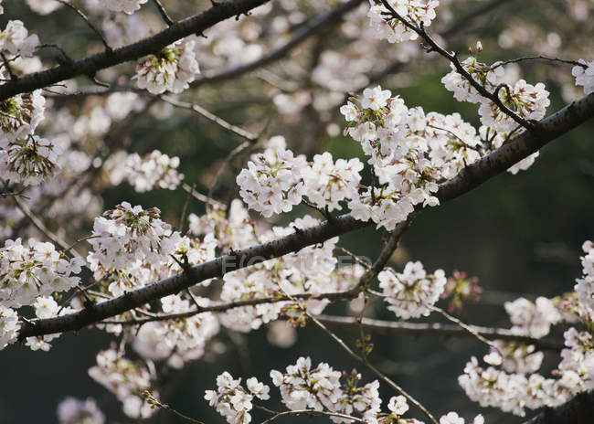 Close up pink cherry blossom tree in bloom — Stock Photo