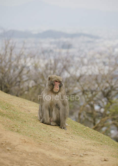 Japanese macaque on hillside, Arashiyama Park, Nakanoshima Area, Kyoto, Japan — Photo de stock