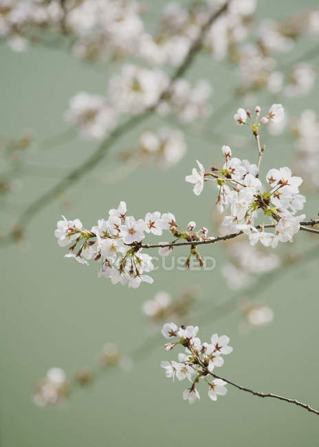 Close up delicate pink cherry blossoms on branch — Stock Photo