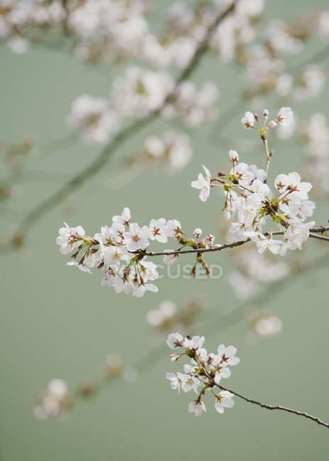 Закрыть нежный розовый цветы вишни на ветке — стоковое фото