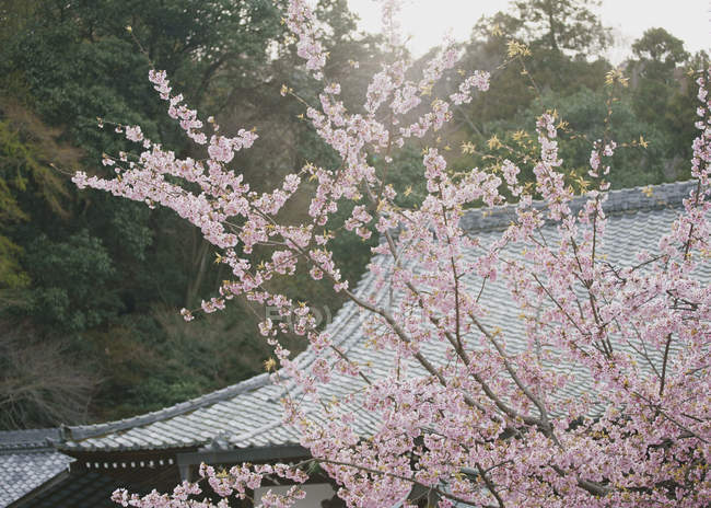 Розовое цветущие вишни, Киото, Япония — стоковое фото