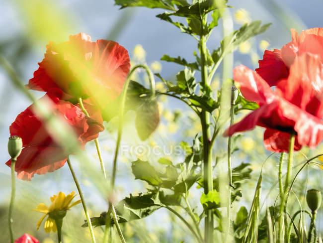 Nahaufnahme roter Mohnblumen — Stockfoto