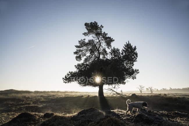 Chien passant devant idyllique, arbre rétro-éclairé, Wiendorf, Mecklembourg, Allemagne — Photo de stock